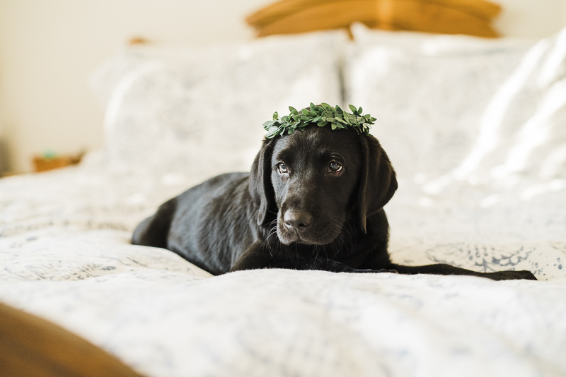 cute black lab puppy wearing greenery crown, welcome home session for a puppy, puppy love, ©Emily Marie Photography,