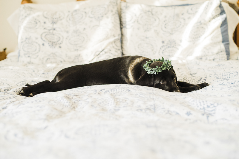 tired puppy stretched out on bed, ©Emily Marie Photography | lifestyle puppy photographer