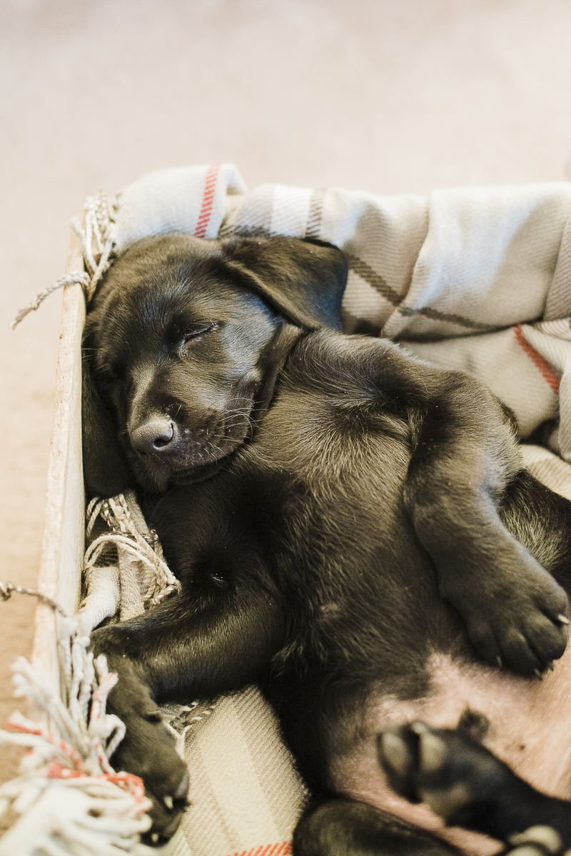 tuckered out puppy, lifestyle dog photography, ©Emily Marie Photography
