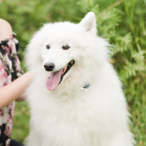 Happy Tails: Suri the Samoyed