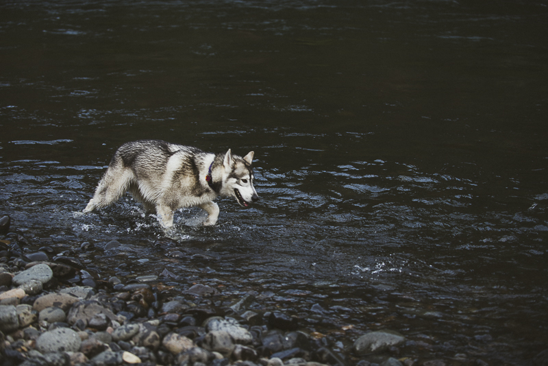 Malamute in the river, ©Laurie Jean Photography | on location dog portraits