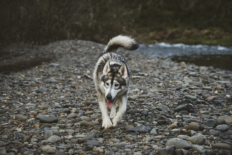 on location dog photography, Malamute walking on rocks, Oregon pet photographer ©Laurie Jean Photography