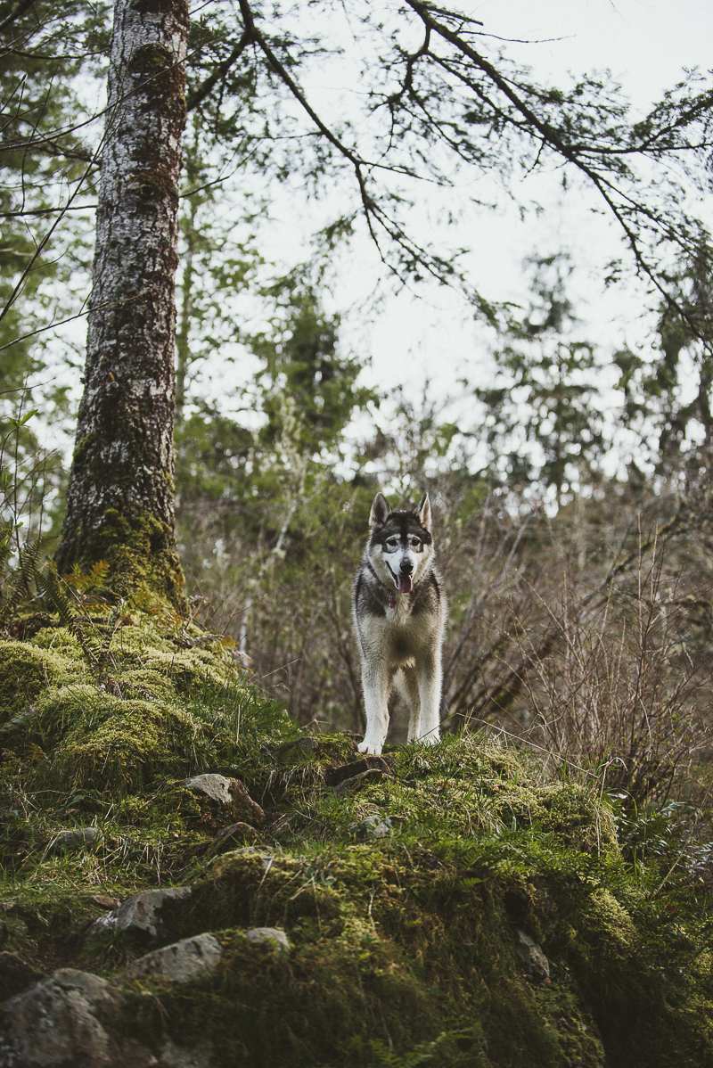 gorgeous Malamute in the forest, ©Laurie Jean Photography, Tillamook Oregon Pet Photographer