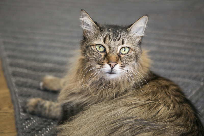 Caturday, lovely long haired cat, ©Mandy Whitley Photography | Nashville pet photographer