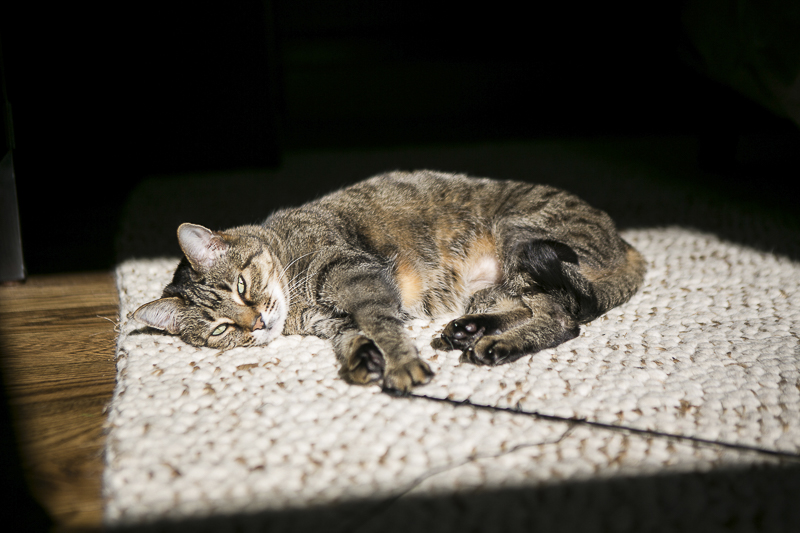cat resting in sun puddle, cat portraits, ©Mandy Whitley Photography | Nashville cat photographer