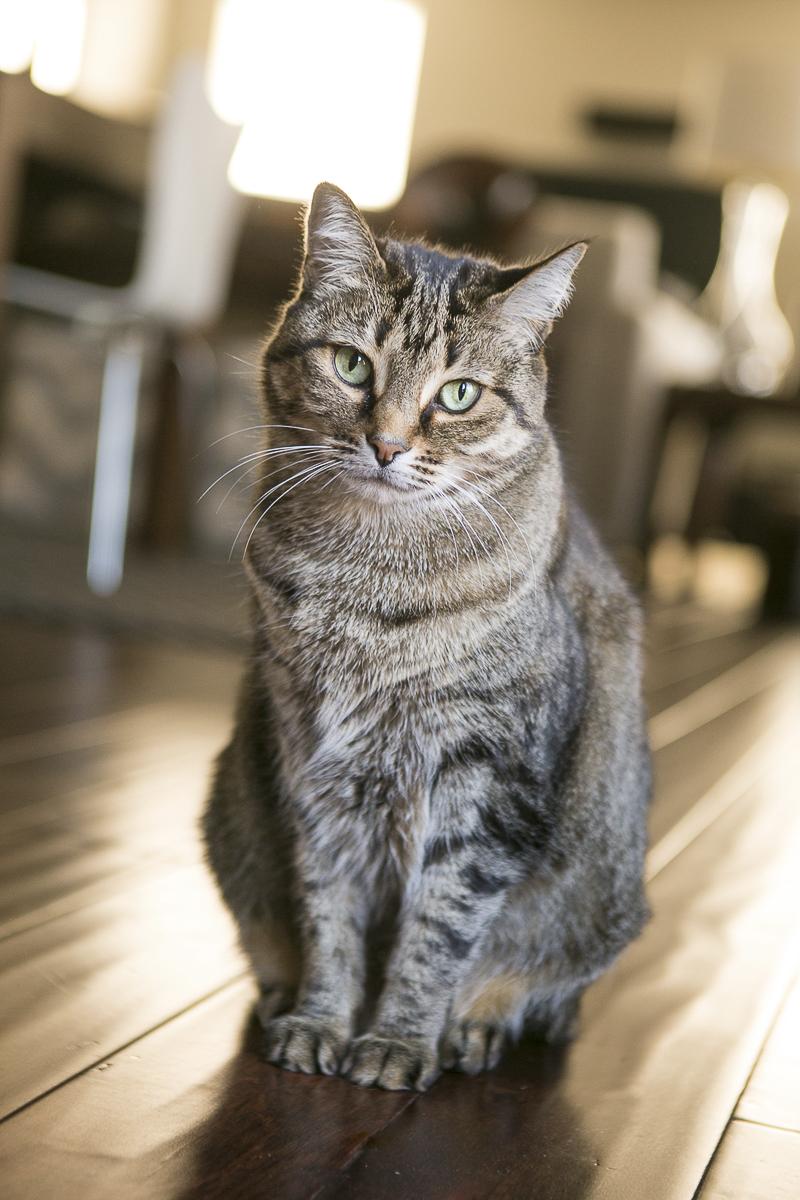 beautiful tabby cat, lifestyle cat photography, ©Mandy Whitley Photography   Nashville pet photographer