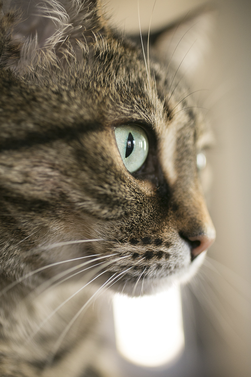 Caturday, pet portraits by Mandy Whitley Photography