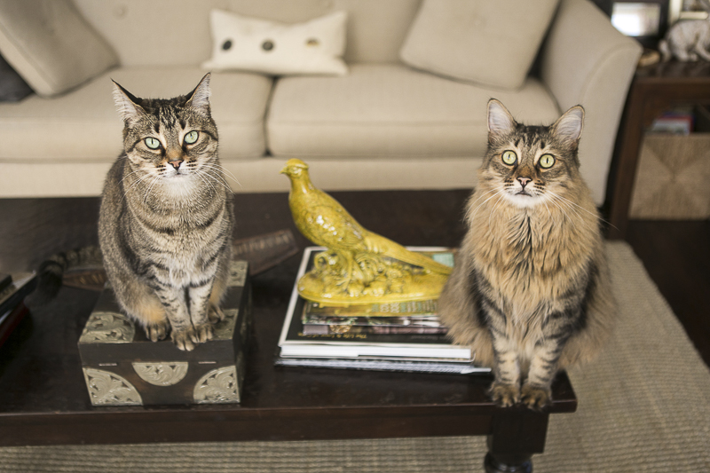 tabby cats on coffee table, lifestyle cat photography ideas,