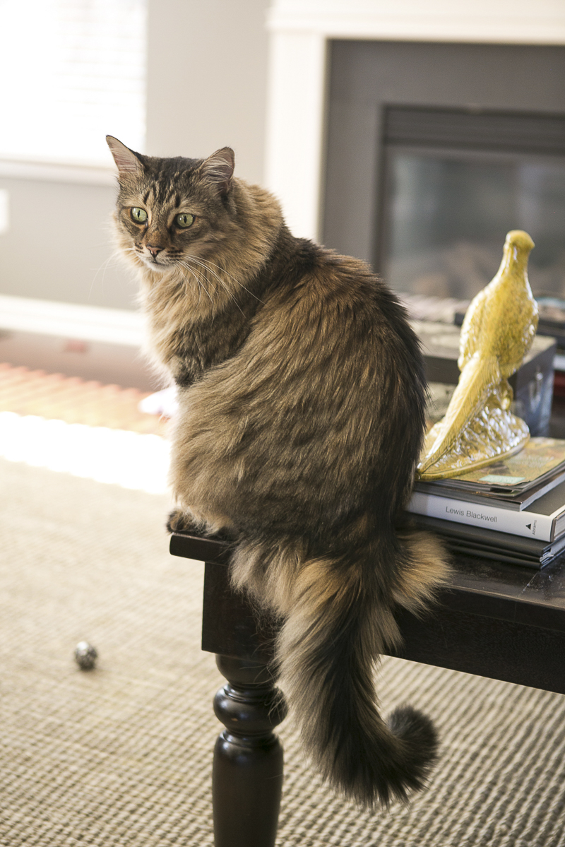 beautiful long haired cat on coffee table, lifestyle cat portraits, ©Mandy Whitley Photography | Nashville cat photographer