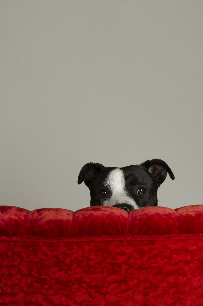 emotional support dog for firehouse, ©Noble Soul Pet Photography | Massillon, OH studio dog portraits