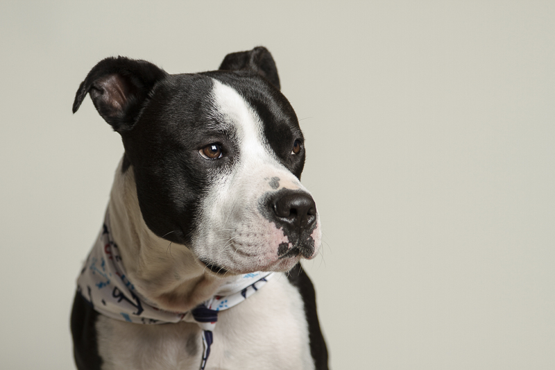 handsome Pit bull mix, ©Noble Soul Pet Photography | studio dog portraits, emotional support dog for firefighters