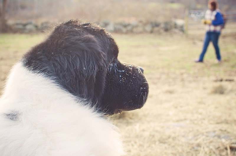 handsome Landseer Newfoundland, lifestyle dog photography, ©Petcha Photography | Honor Life Sessions