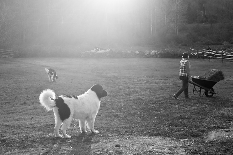 Landseer Newf and other dog in field, horse and dog lover life ©Petcha Photography | Honor Life Sessions