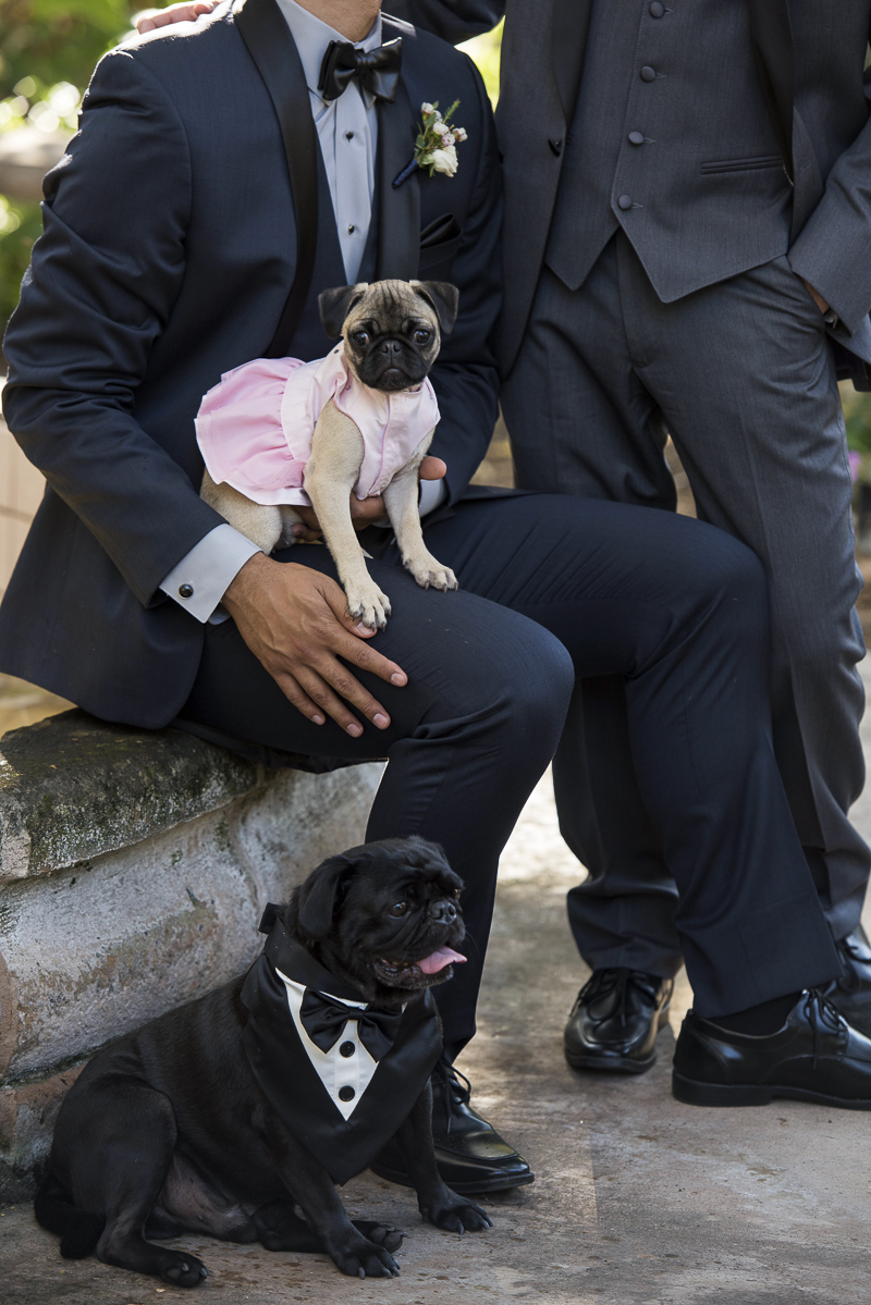cute Pug puppy in pink dress, handsome Pug in tux, men in wedding attire, first anniversary photo styled shoot, ©Spotlight Studios