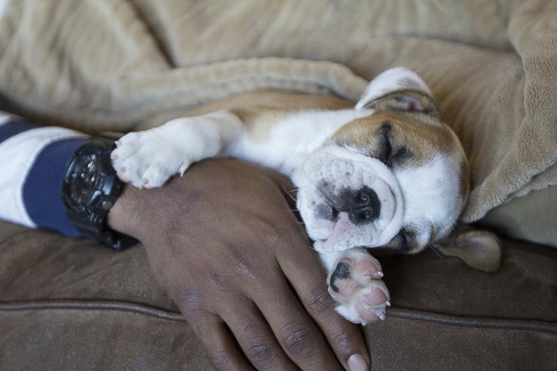 tiny English Bulldog puppy ©SunRae Photography