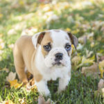 Puppy Love:  Bisou the English Bulldog Puppy