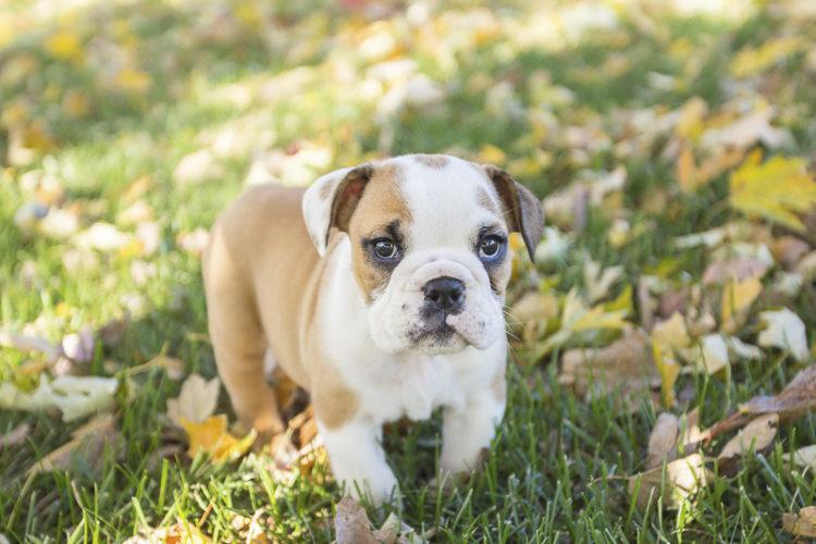 Puppy Love:  Bisou the English Bulldog Puppy