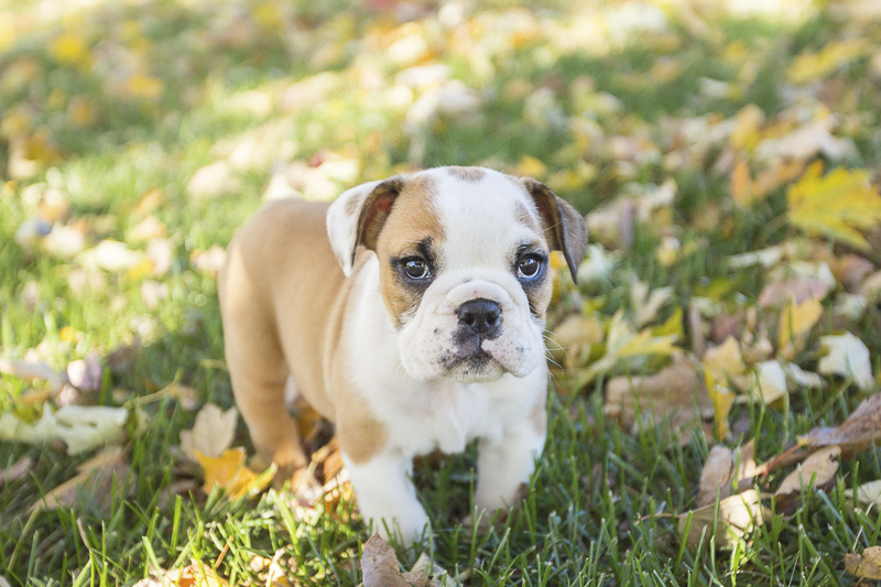 English Bulldog Puppy portraits ©SunRae Photography