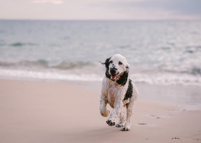 beach dog, sunrise dog photography photos, Cocker Spaniel on the beach, ©Bitsa Bernard Photography | Adelaide, lifestyle dog photography