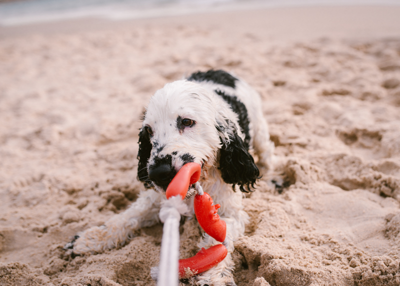 Cocker Spaniel chewing on toy at the beach, ©Bitsa Bernard Photography | Adelaide, lifestyle dog photography