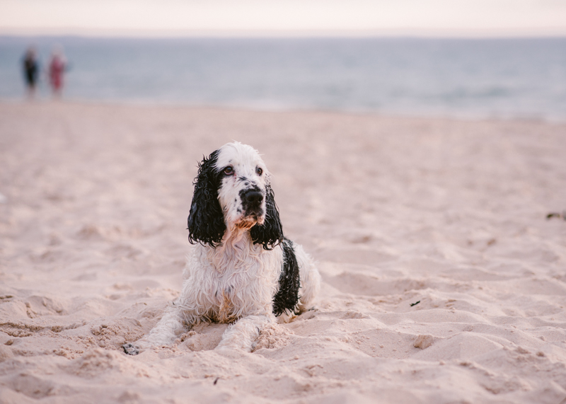 Black and white Cocker Spaniel lying on the sand, ©Bitsa Bernard Photography   Adelaide, lifestyle dog photography