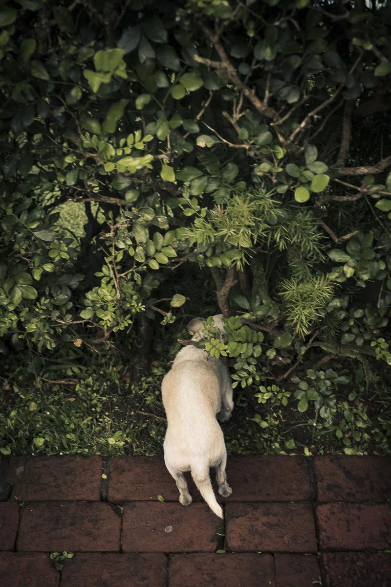 senior Chi sniffing bush in Oahu, Hawaii ©Amanda Emmes Photography | environmental dog portraits