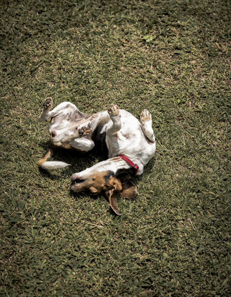 Beagle rolling on grass | ©Amanda Emmes Photography | lifestyle dog photographer