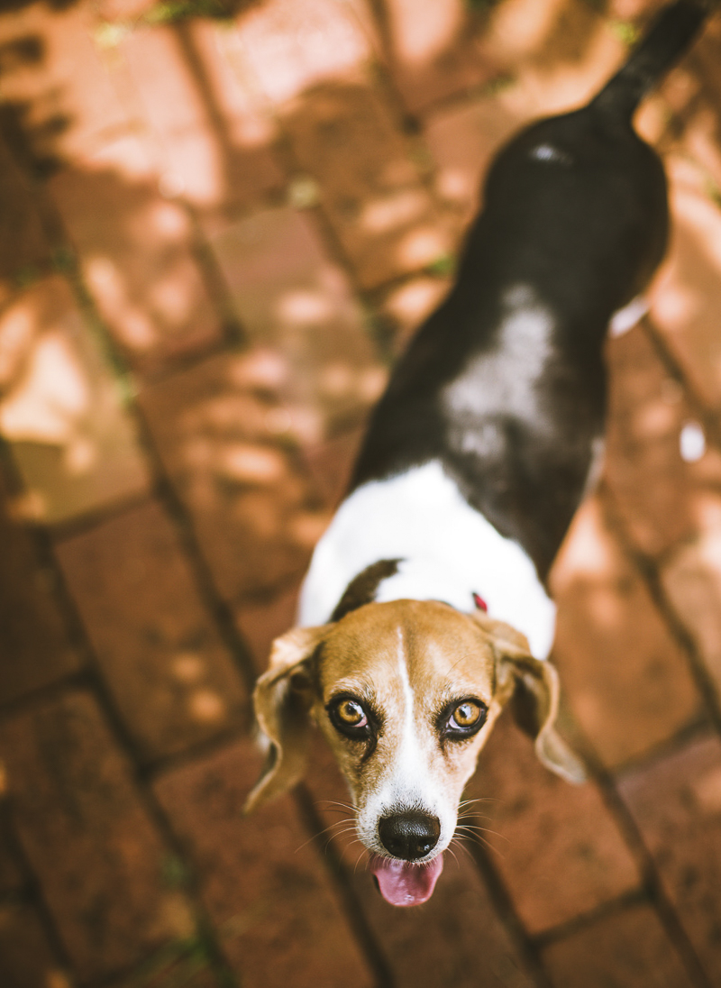 Beagle standing on brick patio, looking up at photographer ©Amanda Emmes Photography