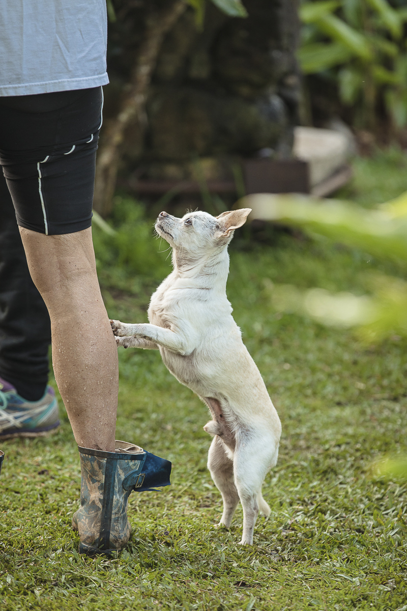 Chihuahua standing on hind legs resting front paw's on human's leg ©Amanda Emmes Photography