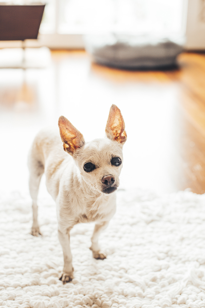 white chihuahua, senior dog, ©Amanda Emmes Photography | Oahu, Hawaii dog photography
