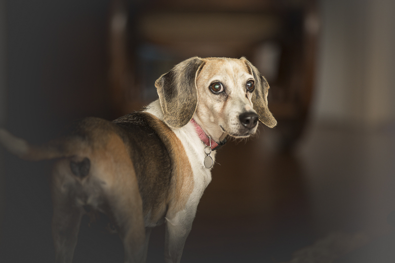 senior beagle, on location dog photographer | Oahu, Hawaii, ©Amanda Emmes Photography