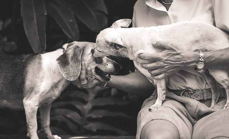 senior dogs, Chi licking beagles face | ©Amanda Emmes Photography | environmental dog photography