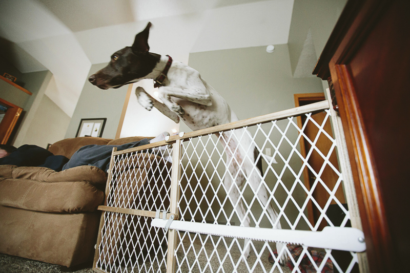 German Shorthaired Pointer jumping over baby gate, ©Art By Carly