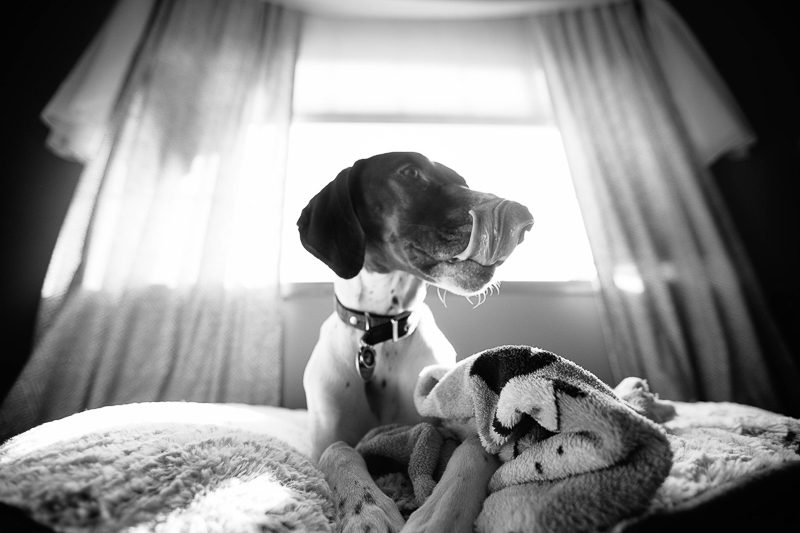 dog lying on bed, lifestyle dog photography, ©Art By Carly
