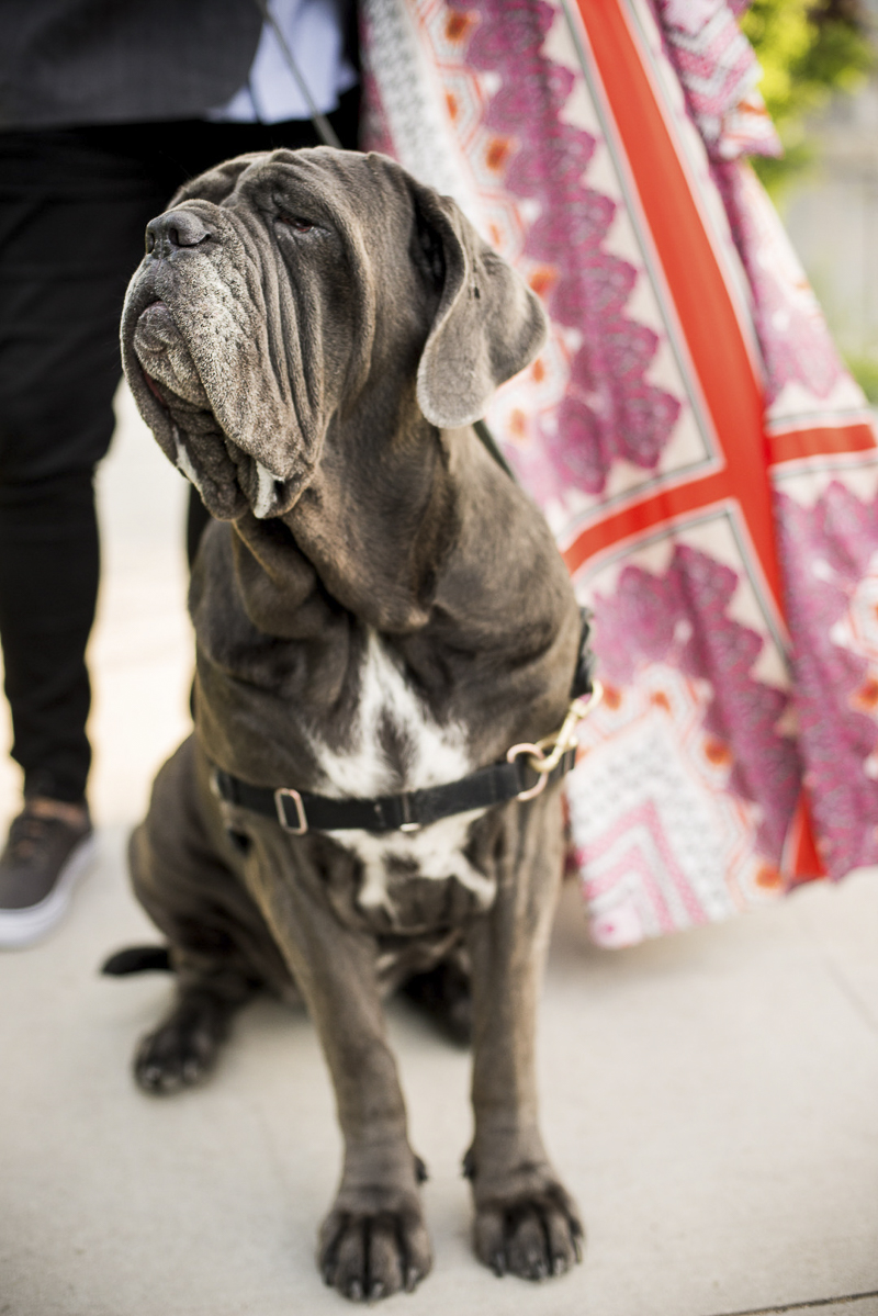 regal dog | ©Cattura Weddings | engagement photos with a Neapolitan Mastiff