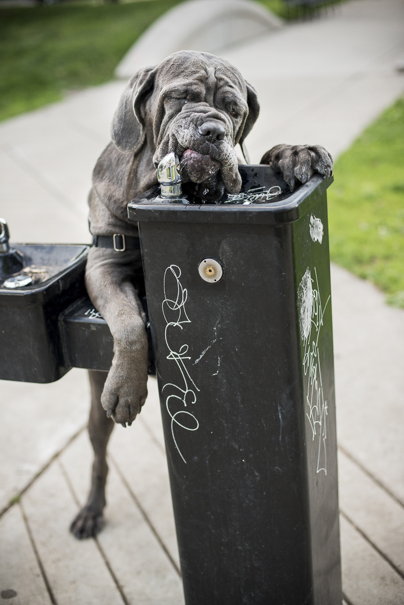 Neapolitan Mastiff drinking from water fountain ©Cattura Weddings | dog portraits