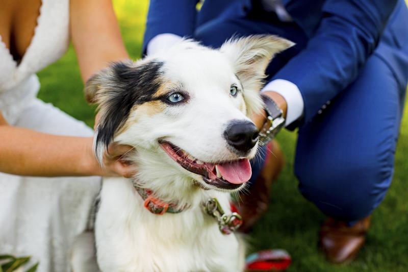 wedding dog, Border Collie-Australian Shepherd Mix