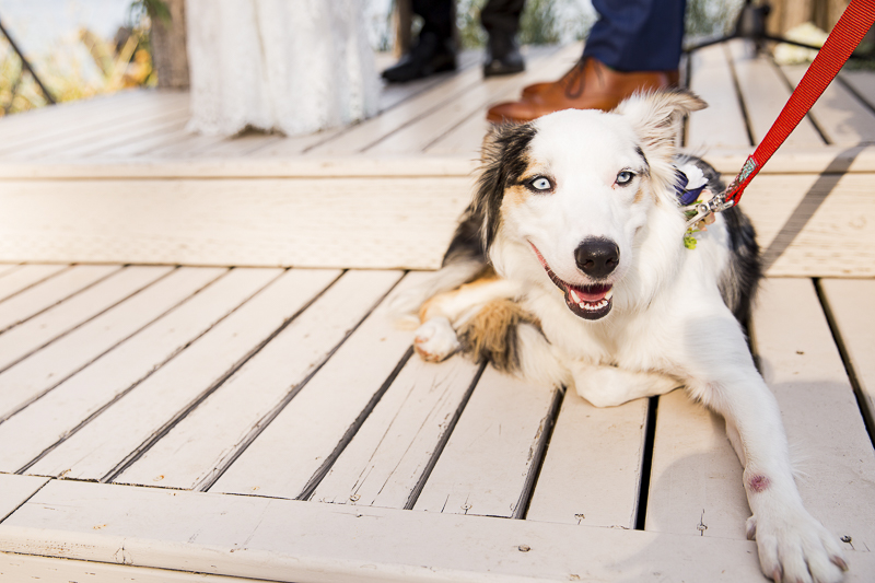 Australian Shepherd/Border Collie mix in wedding, ©Emma Lee Photography | Dogs in weddings