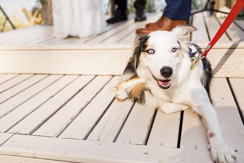 Australian Shepherd/Border Collie mix in wedding, ©Emma Lee Photography | Dogs in weddings