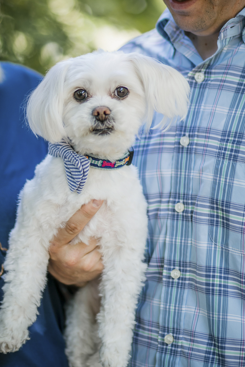 Maltese wearing seersucker bow tie, ©Images by Amber Robinson- Raleigh anniversary photos with little dog