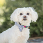 Happy Tails:  Marlee the Maltese