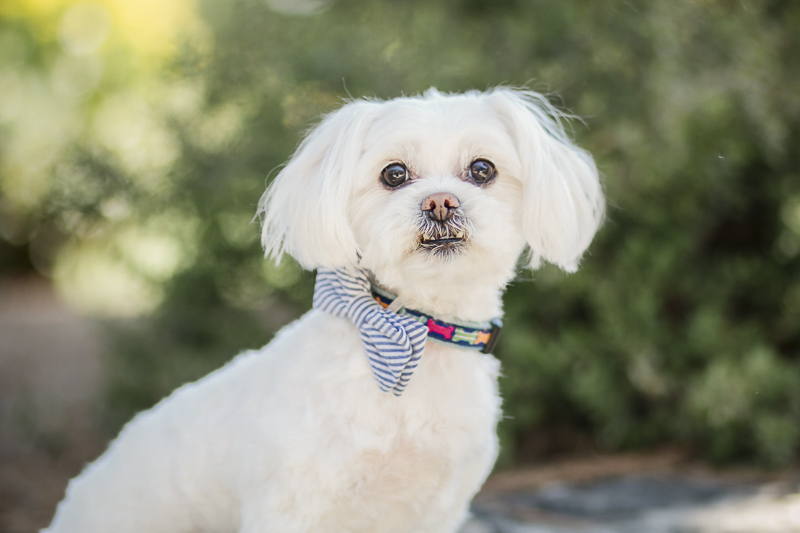 Handsome Maltese wearing bow tie, ©Images by Amber Robinson- Raleigh anniversary photos with dog