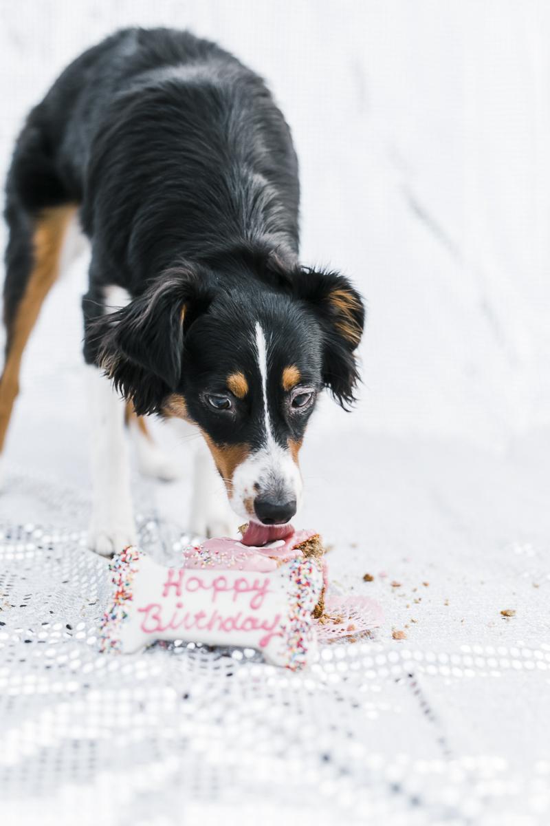 bone shaped cake for dog, Mini Aussie eating cake | ©Ryan Greenleaf Photography, lifestyle dog photographer