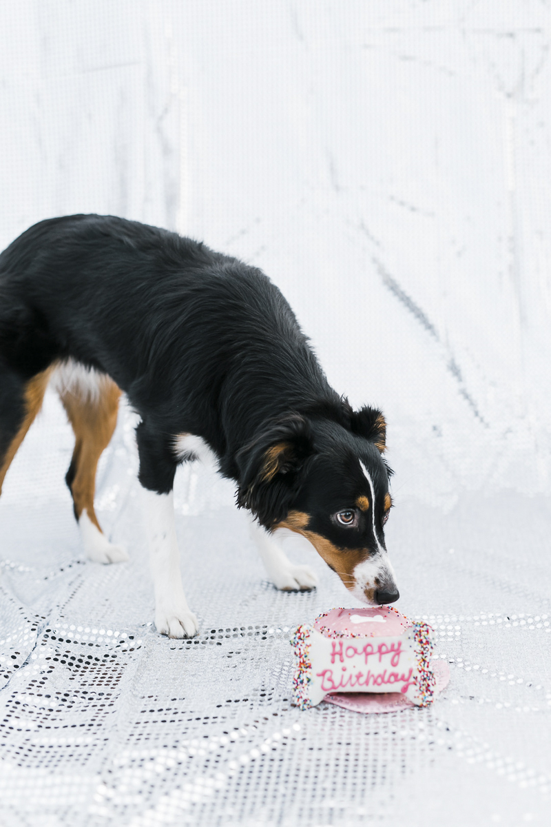 Mini Aussie birthday celebration ©Ryan Greenleaf Photography - dog's first birthday cake