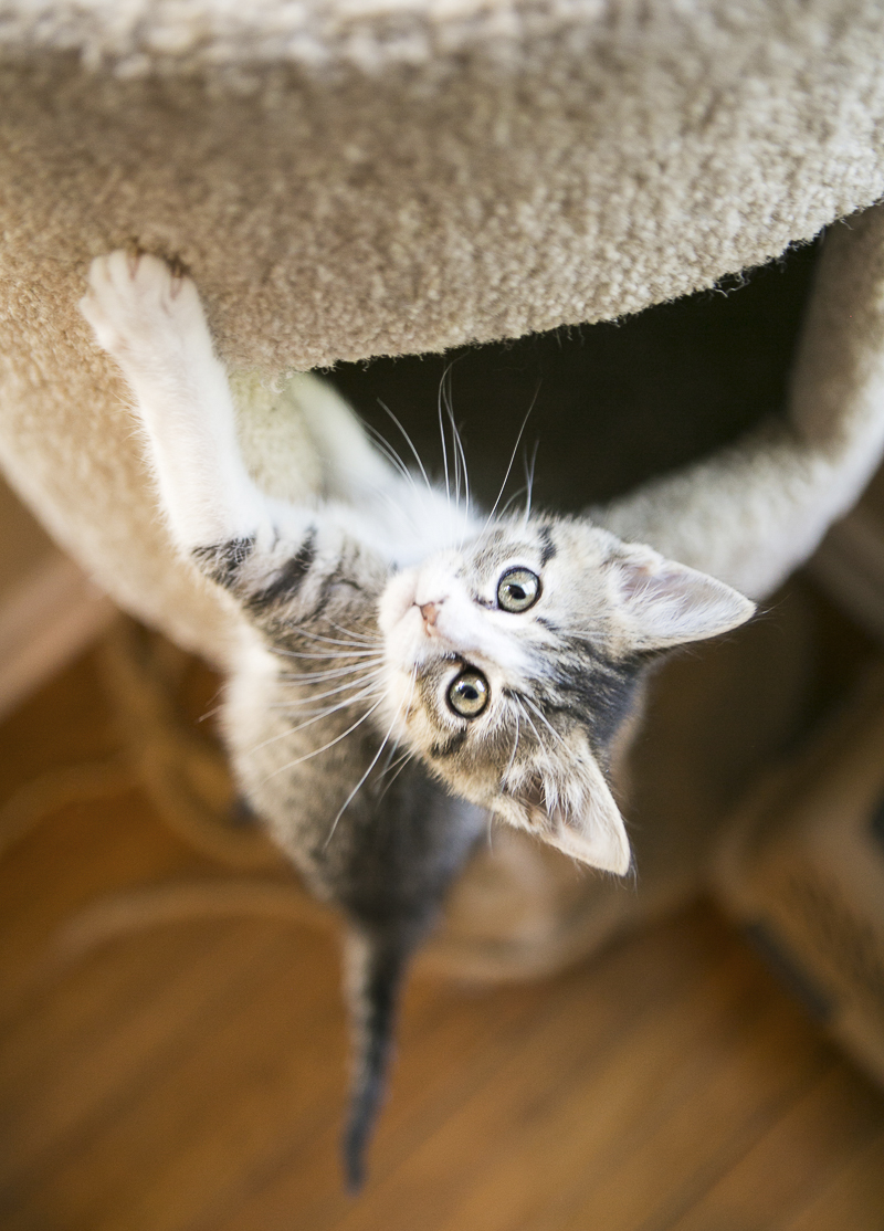 adorable kitten climbing cat tree | ©Mandy Whitley Photography, fostering kittens in Nashville, pet photographer