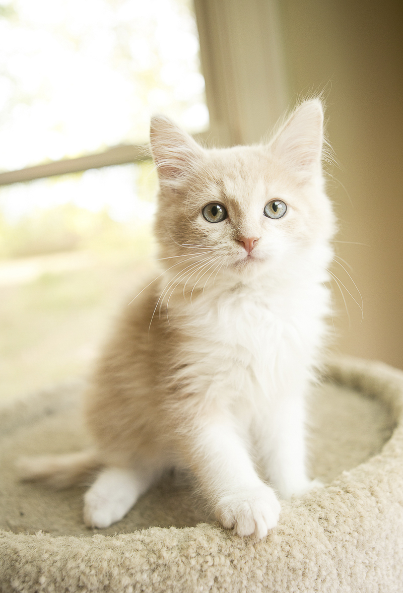 Adorable foster kitten | ©Mandy Whitley Photography | Nashville lifestyle cat photographer