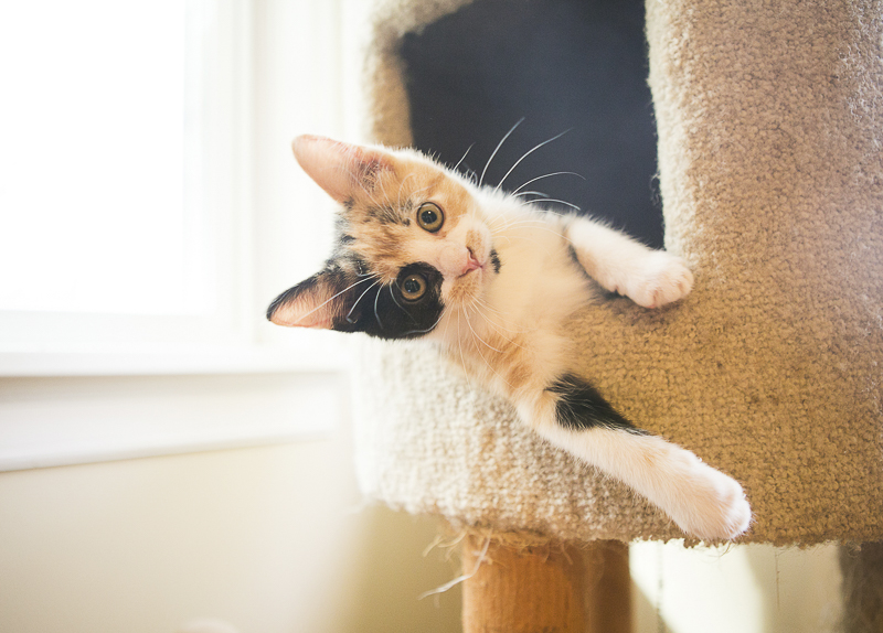kitten hanging out of cat tree, how to foster kittens | ©Mandy Whitley Photography | Nashville pet photography