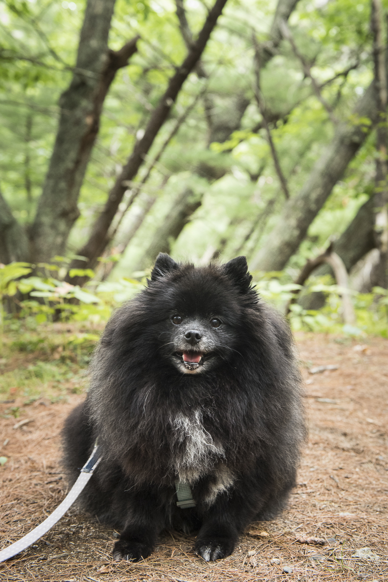 adorable black Pomeranian on trail, dog-friendly vacation Maine, ©Alice G Patterson Photography | Kennebunk, Maine, lifestyle dog photographer