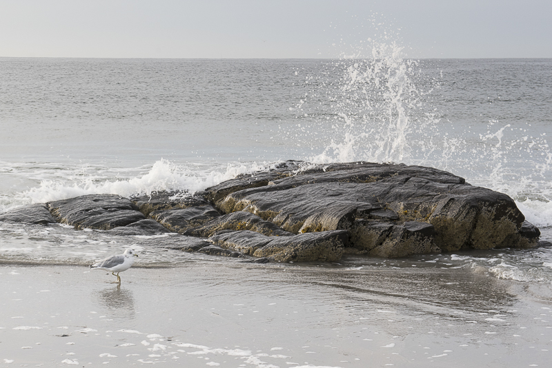 gull on beach, water hitting rock, ©Alice G Patterson Photography | Kennebunk, Maine, lifestyle photography