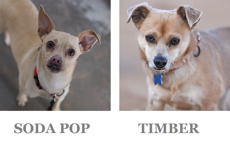 Adoptable Chi mixes | Best Friends Animal Sanctuary